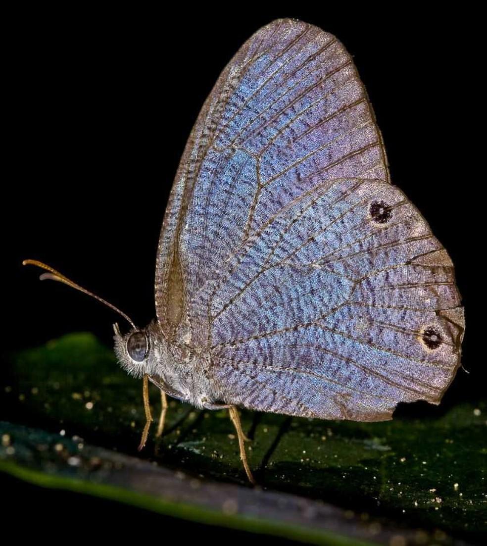O primeiro registro da borboleta Godartiana byses, no Estado de São Paulo (Foto: Raphael Fraga)