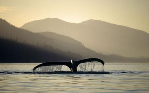 Com poder de esfriar a Terra, baleias ganham a atenção de ecologistas e economistas