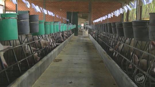 Série mostra fazenda de criação de porcos que produz energia elétrica - Assista 2° episódio