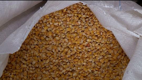 Agricultores podem se cadastrar em programa de aquisição de milho no Sertão de PE