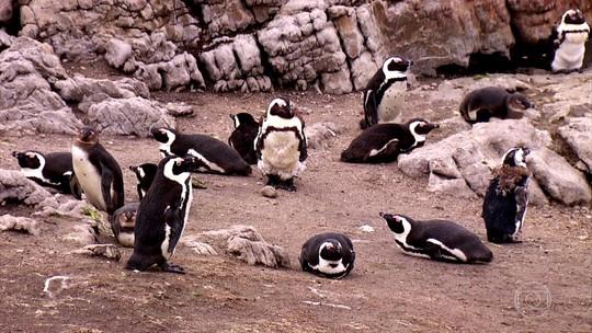Mais de três mil pinguins africanos vivem em ilha no sul do continente