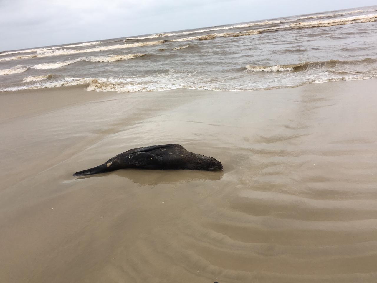 Lobos-marinhos, tartarugas e pinguins são encontrados mortos durante patrulhamento no litoral do RS - Notícias - Plantão Diário