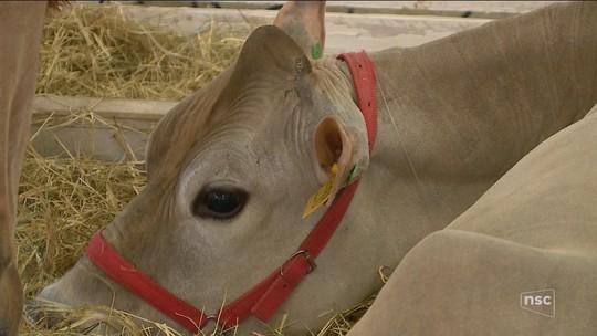 Feira de gado Jersey deve movimentar R$ 35 milhões com venda de animais e equipamentos em Braço do Norte