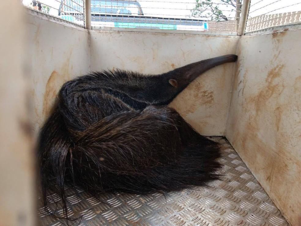 -  Tamanduá-bandeira capturado em Uberlândia  Foto: Polícia Militar de Meio Ambiente/Divulgação