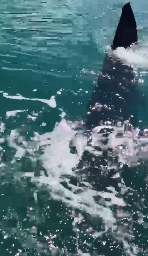 Tubarão-baleia é avistado neste sábado em Ilhabela, SP