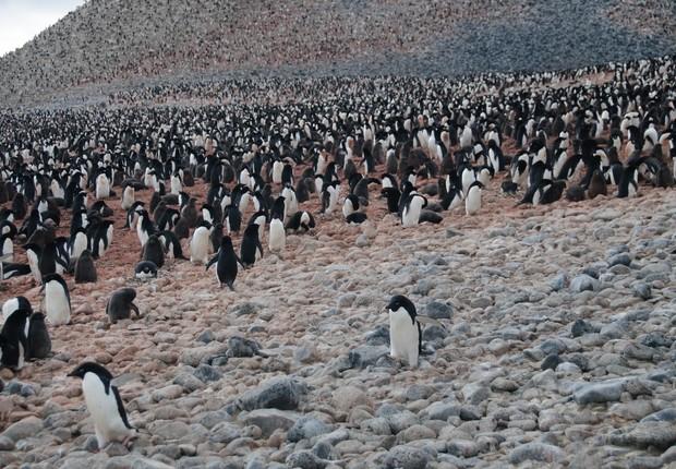 Pinguins_Adélia_Pygoscelis adeliae (Foto: Thinkstock)