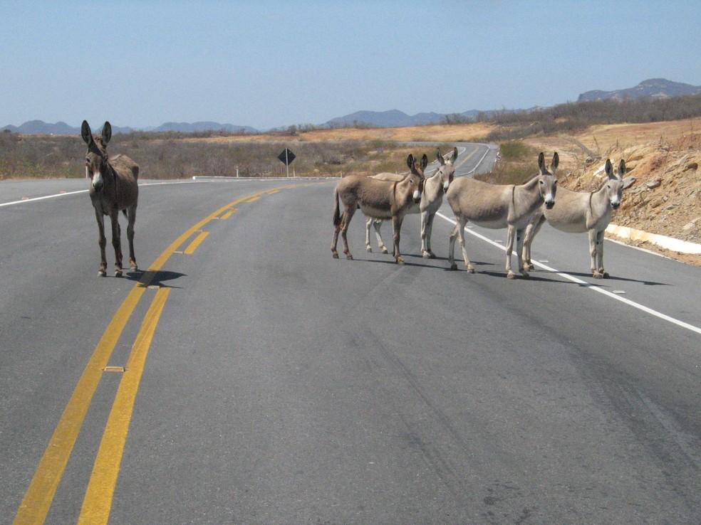 Animal sofre 'concorrência' de avanços tecnológicos e são abandonados nas estradas do Nordeste (Foto: Honório Barbosa)