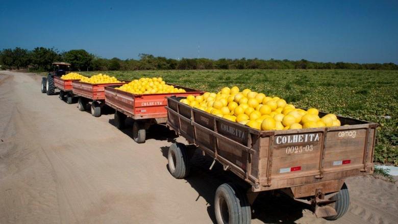 melao-aracati-ceara-frutas (Foto: Drawlio Joca/Ed. Globo)