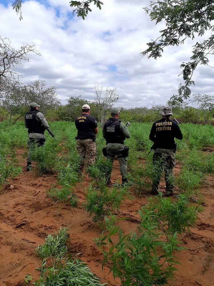 Mais de 10 mil pés de maconha são erradicados na Zona Rural de Orocó