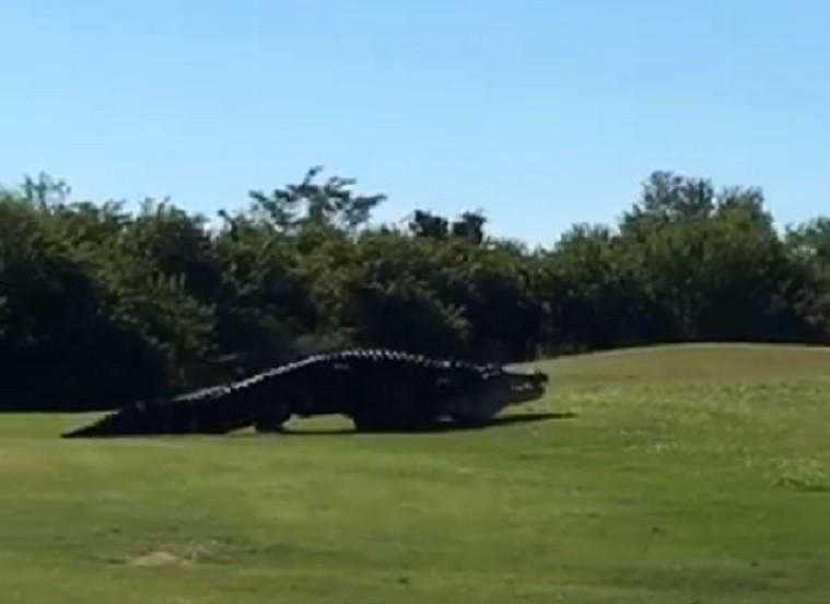 Jacaré é visto em campo de golfe (Foto: Reprodução)
