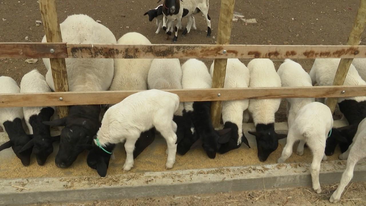 Maior quantidade de chuvas beneficiam criadores de caprinos e ovinos no norte da Bahia