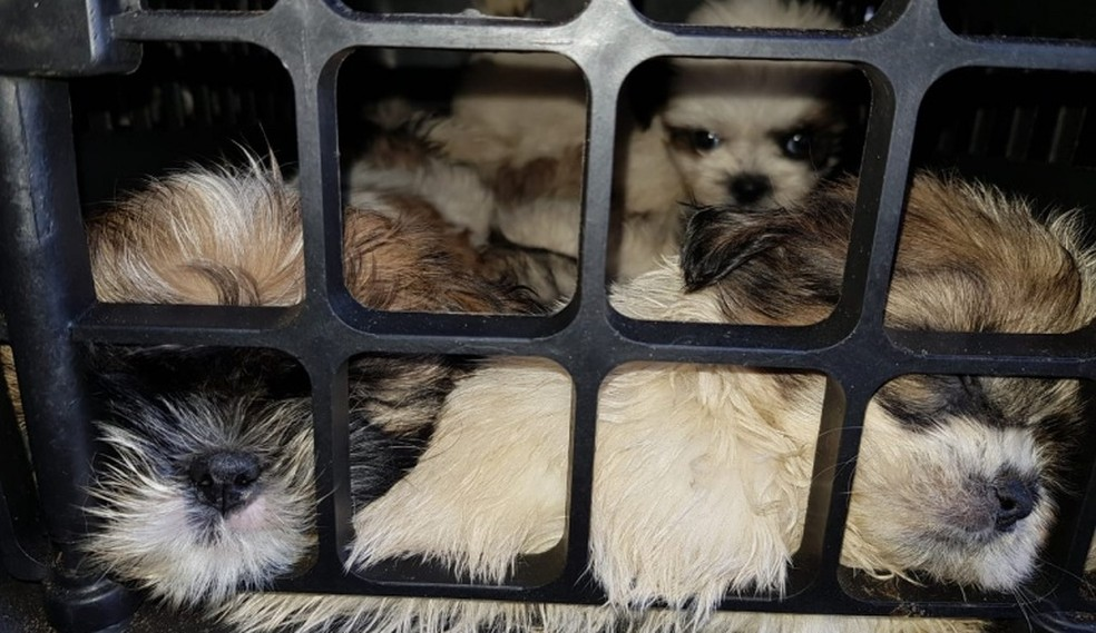 Cães da raça Shi-tzu resgatados pela Polícia Rodoviária Federal na Bahia — Foto: Divulgação/PRF