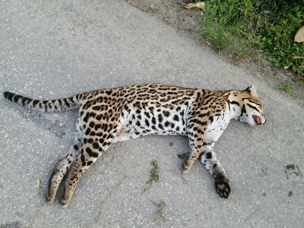 Jaguatirica é encontrada morta na BR-262 em Pedra Azul, ES