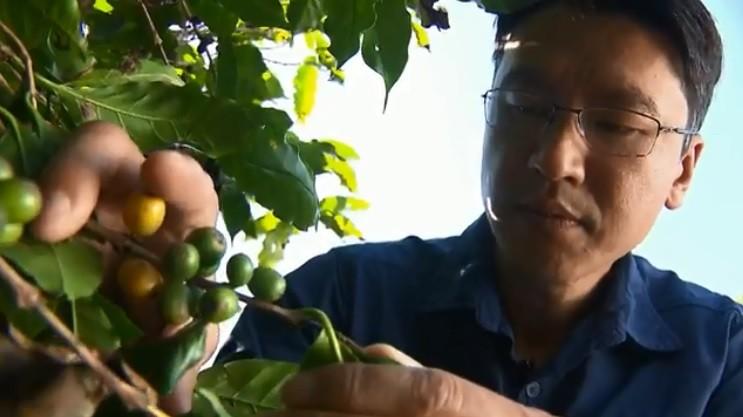 Pesquisas genéticas aumentam produtividade e qualidade de grãos de café no Paraná - Notícias - Plantão Diário