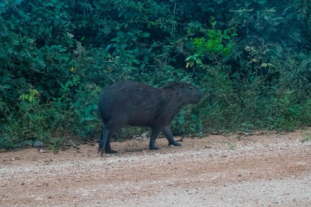 Capivara na beira da estrada — Foto: Eduardo Palacio/G1