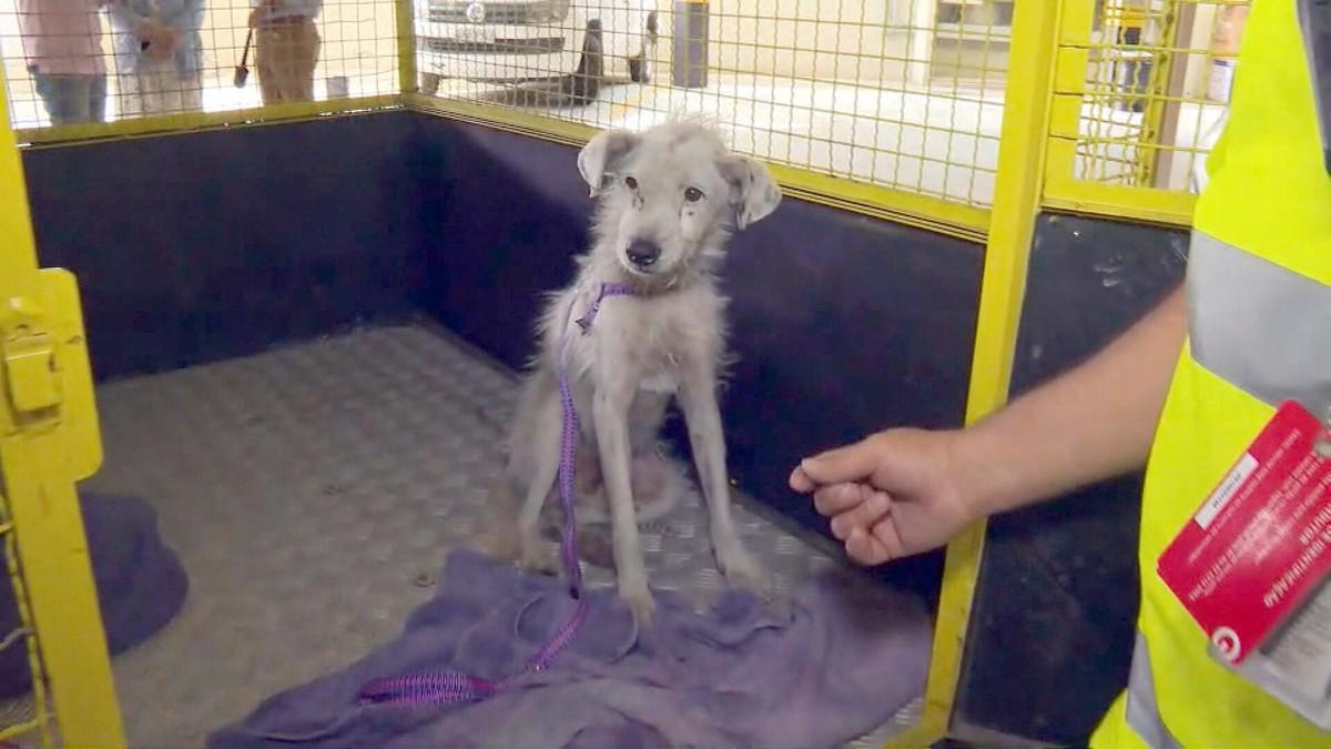 Cachorro resgatado na Linha Amarela recebe cuidados e espera por adoção – G1
