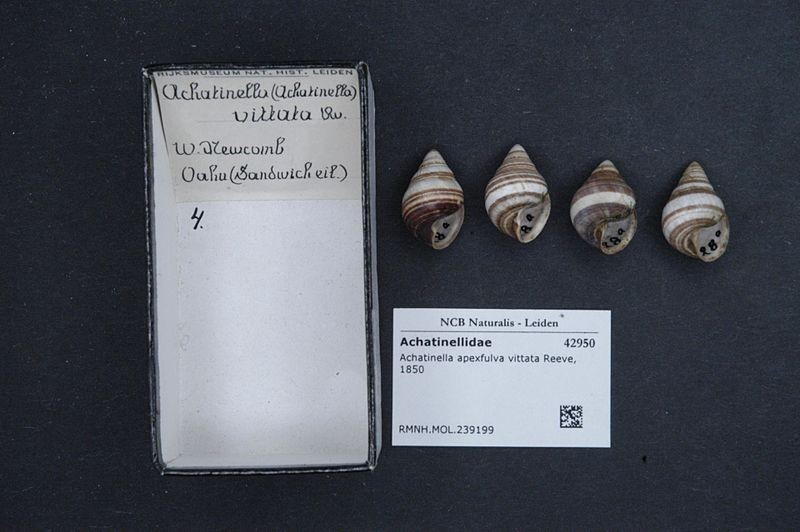 Amostras de caramujos mortos da espécie Achatinella apexfulva do antigo museu holandês  Rijksmuseum van Natuurlijke Historie (Foto: Naturalis Biodiversity Center/Wikimedia Commons)