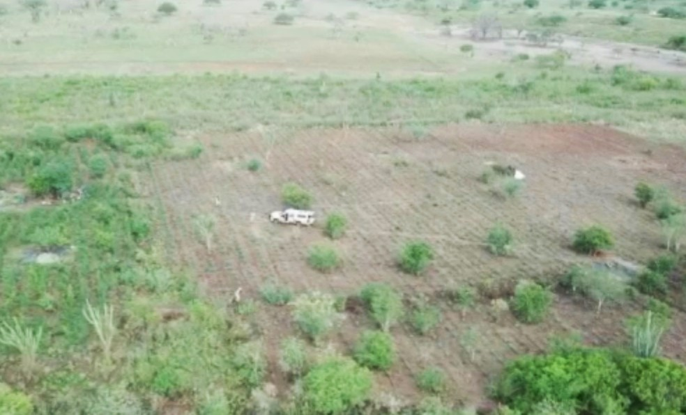 Plantão com 80 mil pés de maconha é encontrado — Foto: Reprodução/TV Bahia