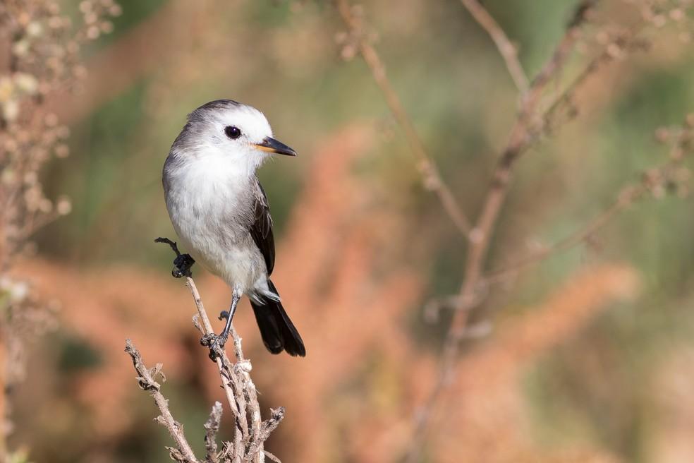Freirinha é comum de ser avistada nas regiões úmidas de todo o Brasil (Foto: Cristofer Martins/VC no TG)