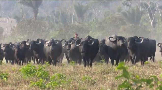 Irmãos apostam na criação de búfalo em fazenda do Acre: 'mercado promissor' - Notícias - Plantão Diário