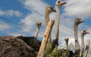 Fatos inusitados sobre o avestruz, a maior ave da terra