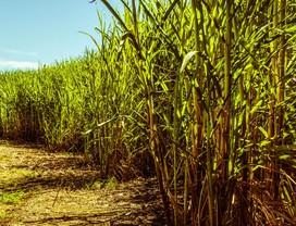 cana-de-açucar-etanol-plantio-acucar (Foto: Petra Bensted/CCommons)