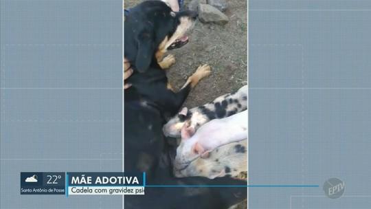 Cadela amamenta três filhotes de porco em Monte Mor; veja vídeo