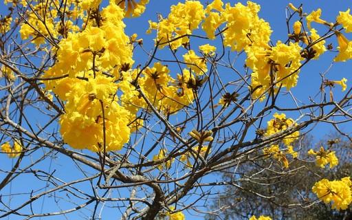 Conheça o ipê-de-jardim - Globo Rural