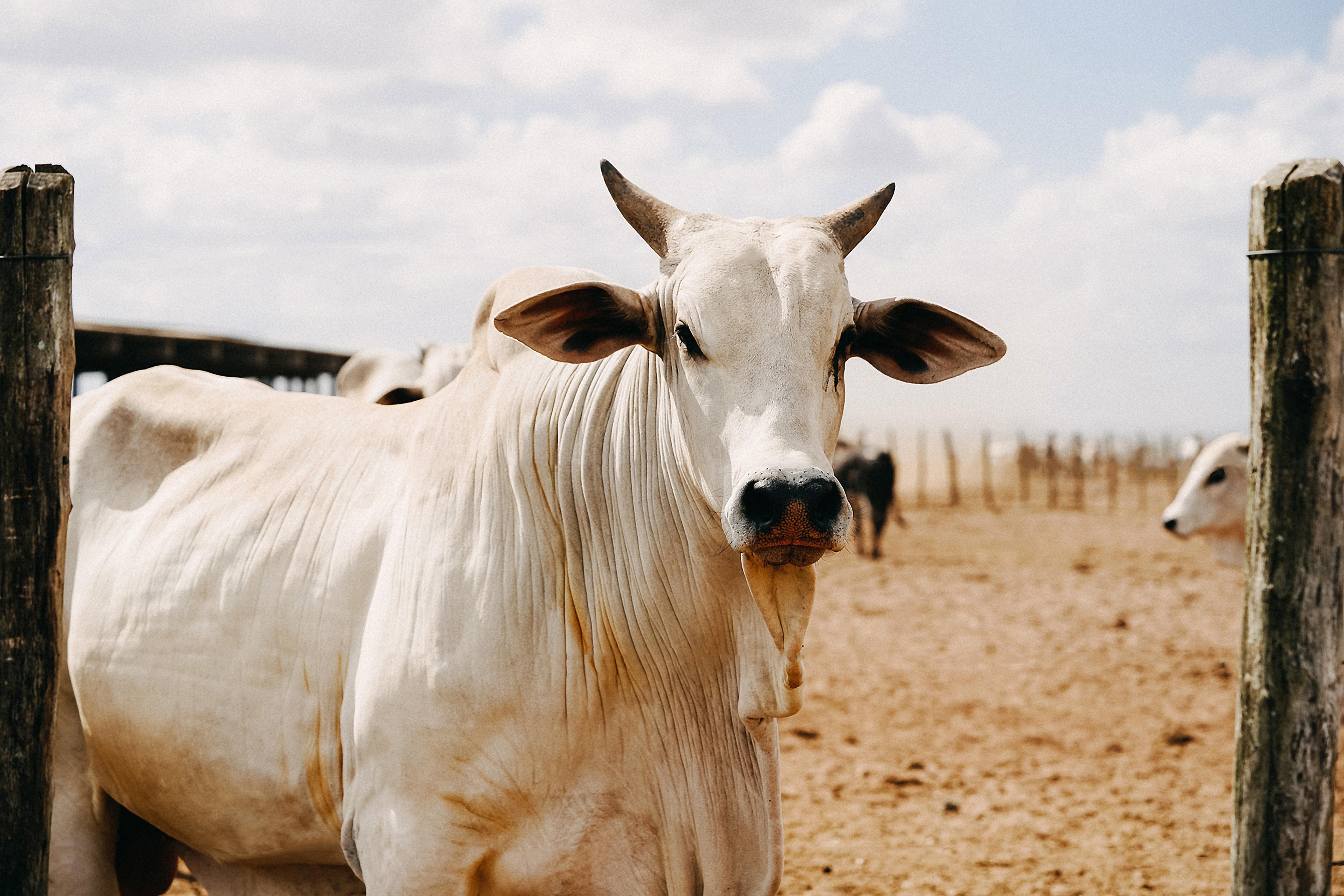 Por que o preço da carne não cai?