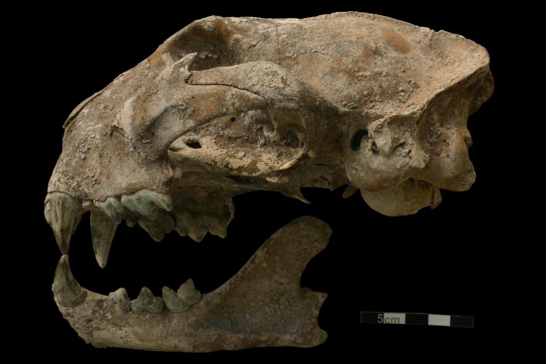 Puma sacrificada pelos maias foi encontrada em tumba em Honduras (Foto: N. Sugiyama)