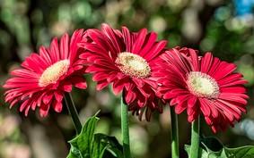 Gérbera: como cultivar a flor mais pop do momento