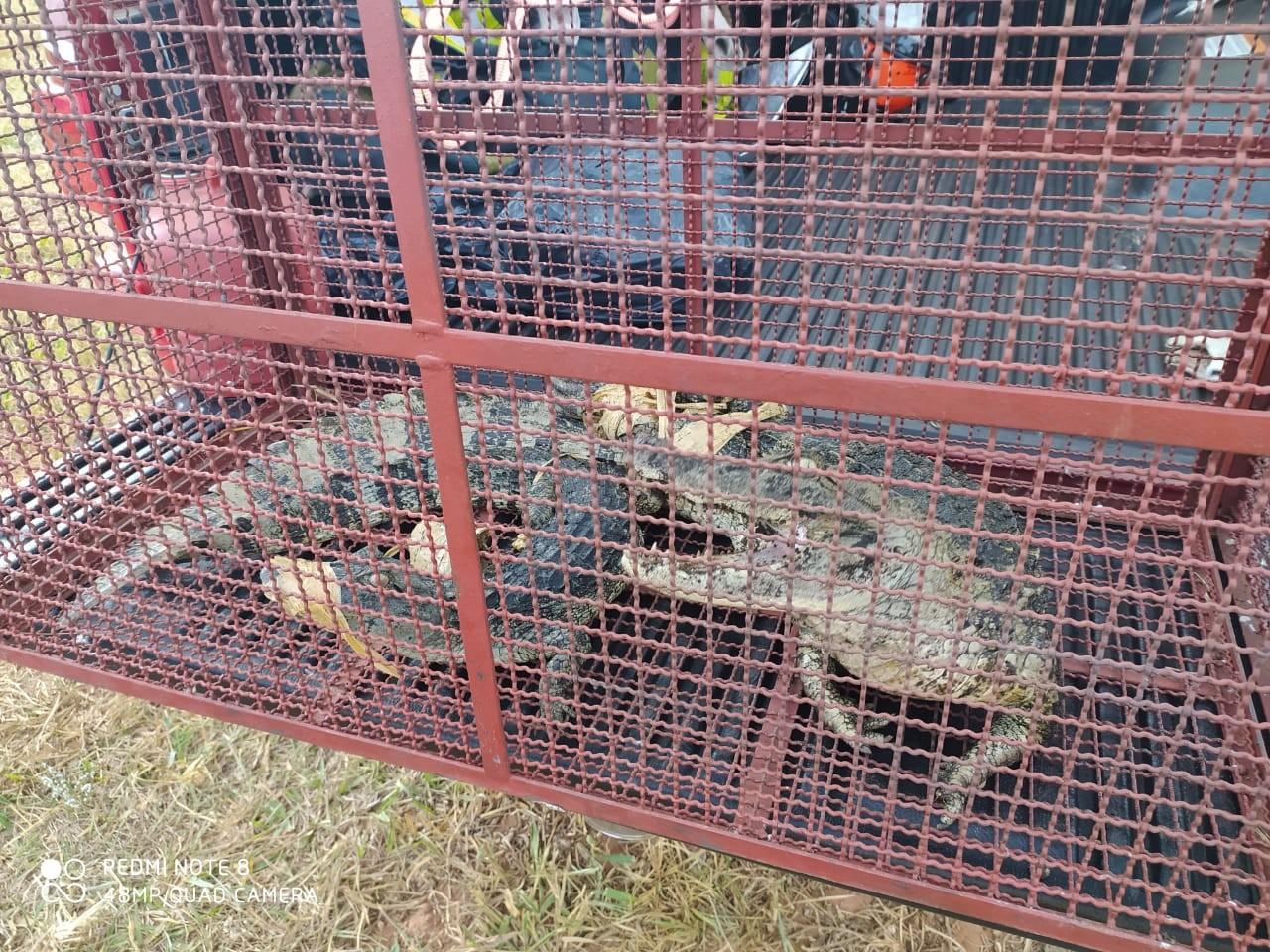 Bombeiros capturam fêmea e filhote de jacaré em lagoa de tratamento de esgoto no Balneário Laranja Doce; veja VÍDEO