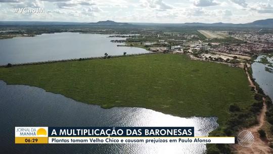 Prejuízos: baronesas seguem em expansão pelo Rio São Francisco em Paulo Afonso