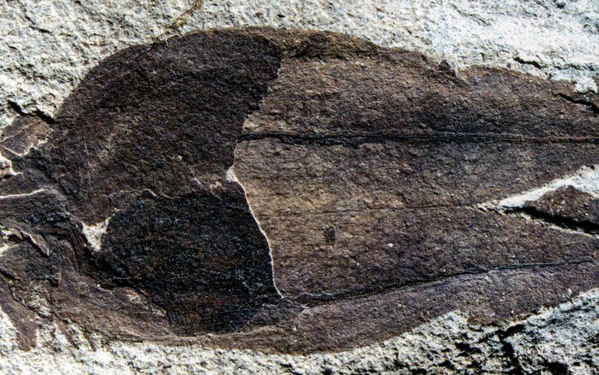 O fóssil de 52 milhões de anos que pode dar pistas sobre a origem das batatas, dos pimentões e dos tomates