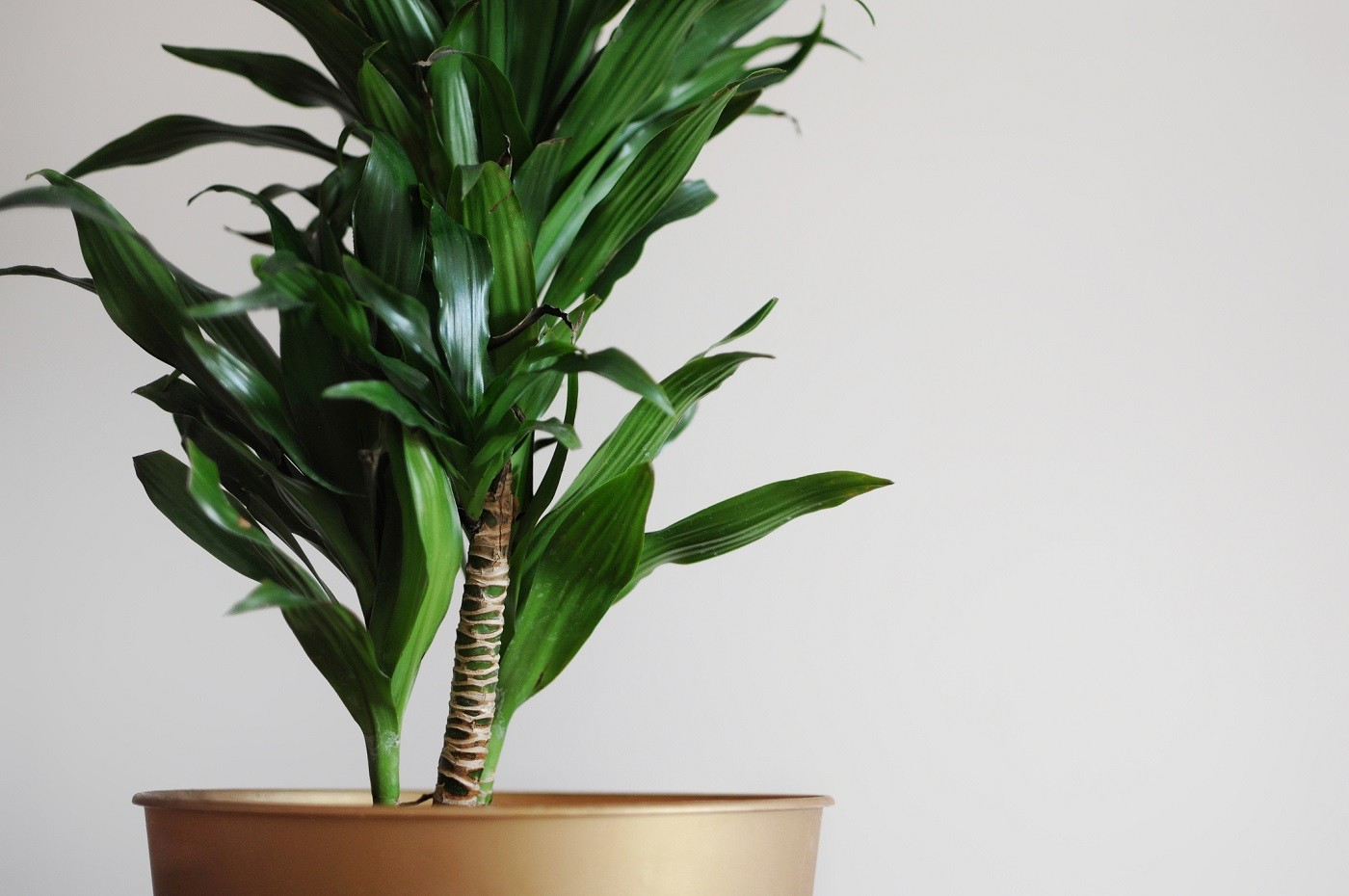 Close up of dracaena fragrans home plant. Minimal style design on empty white wall background. Empty place your text (Foto: Getty Images/iStockphoto)