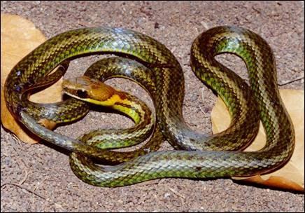 Cobra Echinanthera cyanopleura (Foto: Marcos Di-Bernardo/UFRGS)