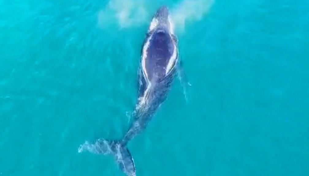 Por ano, 20 mil baleias passam pelo RJ em direção ao litoral da Bahia para acasalar — Foto: Reprodução/TV Globo