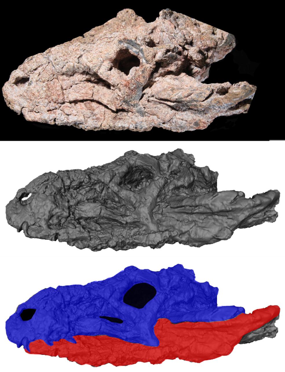 Acima, foto do crânio do fóssil. Abaixo, imagem de tomografia computadorizada (Foto: UFRGS/Divulgação)