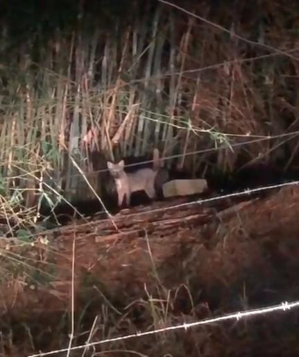 Filhote de lobo-guará é flagrado em meio a bambuzal na RJ-145, em Valença