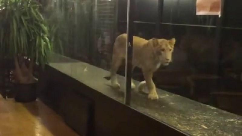 Leoa Khaleesi mantida em aquário de Istambul (Foto: Reprodução / YouTube)