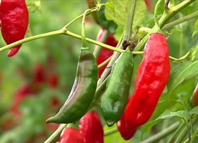 tv-pimenta-cultivo (Foto: Reprodução)