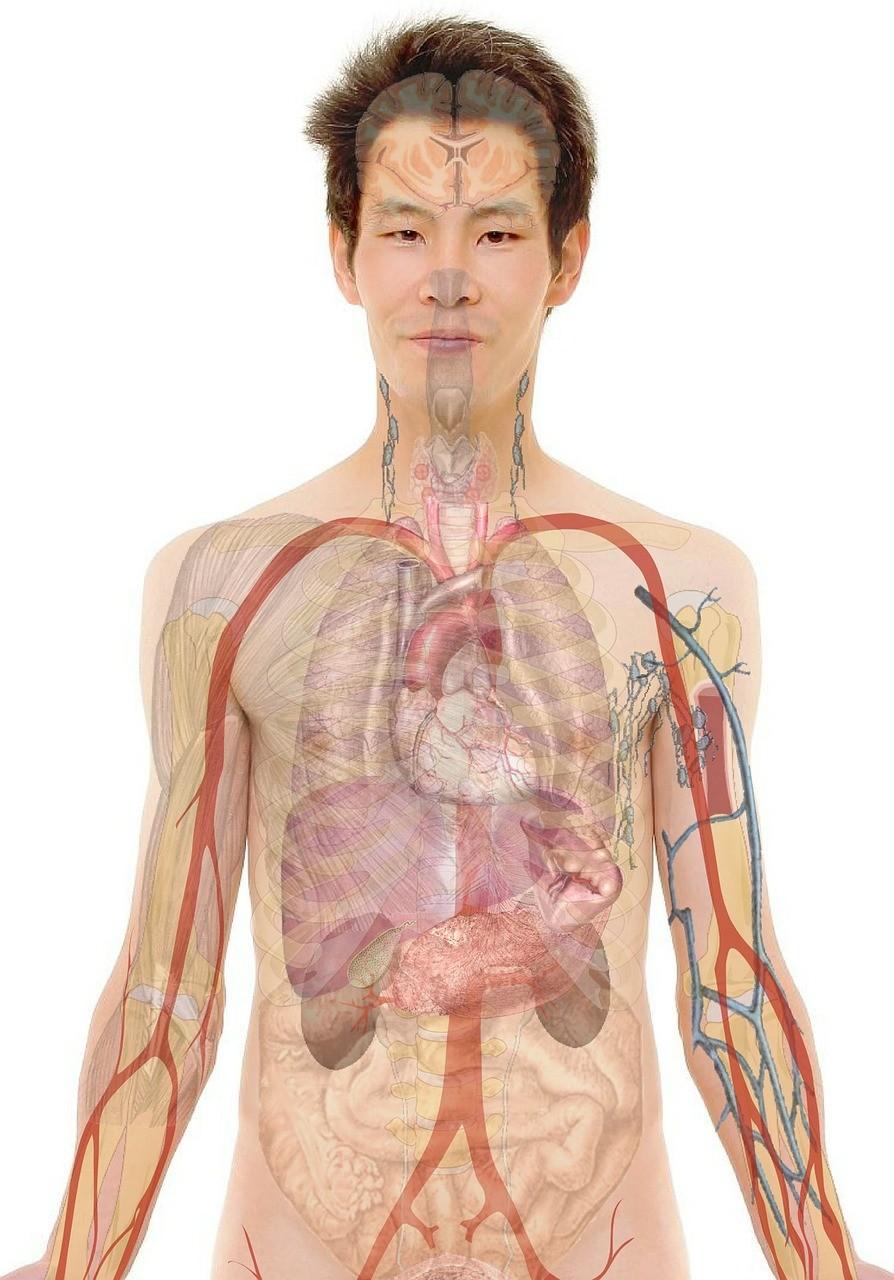 Funcionamento do corpo humano é um dos temas que mais aparecem na parte de biologia do Enem (Foto: Pixabay)