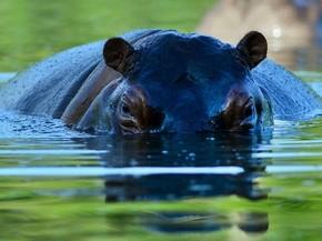Hipopótamo é visto no parquet temático Hacienda Napoles, antigo zoo privado de Pablo Escobar, em Doradal, na Colômbia (Foto: Raul Arboleda/AFP)