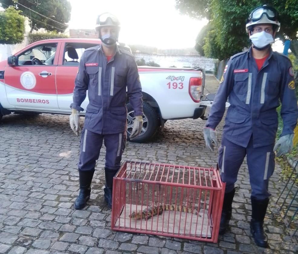 Animal foi capturado pelo Corpo de Bombeiros — Foto: Divulgação/Corpo de Bombeiros