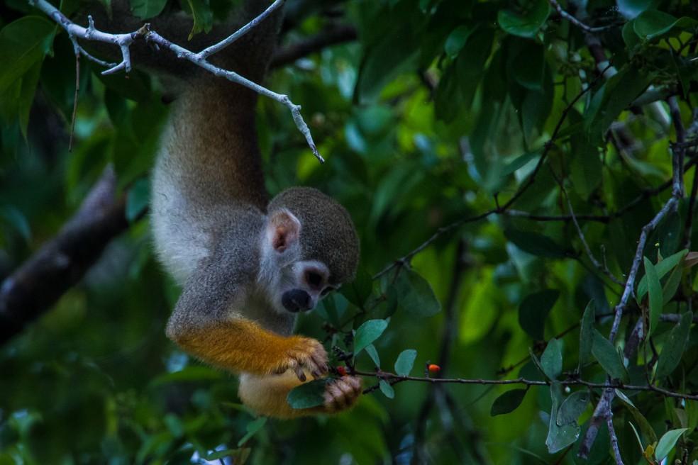 O macaco-de-cheiro faz a festa de quem visita a região. (Foto: Marcelo Ismar Santana/VC no TG)
