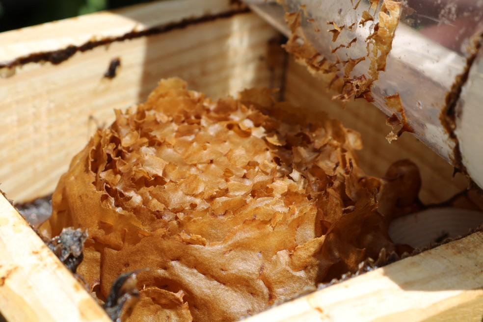 Colmeia da abelha Jataí, que não tem ferrão — Foto: Emater-DF/ Divulgação