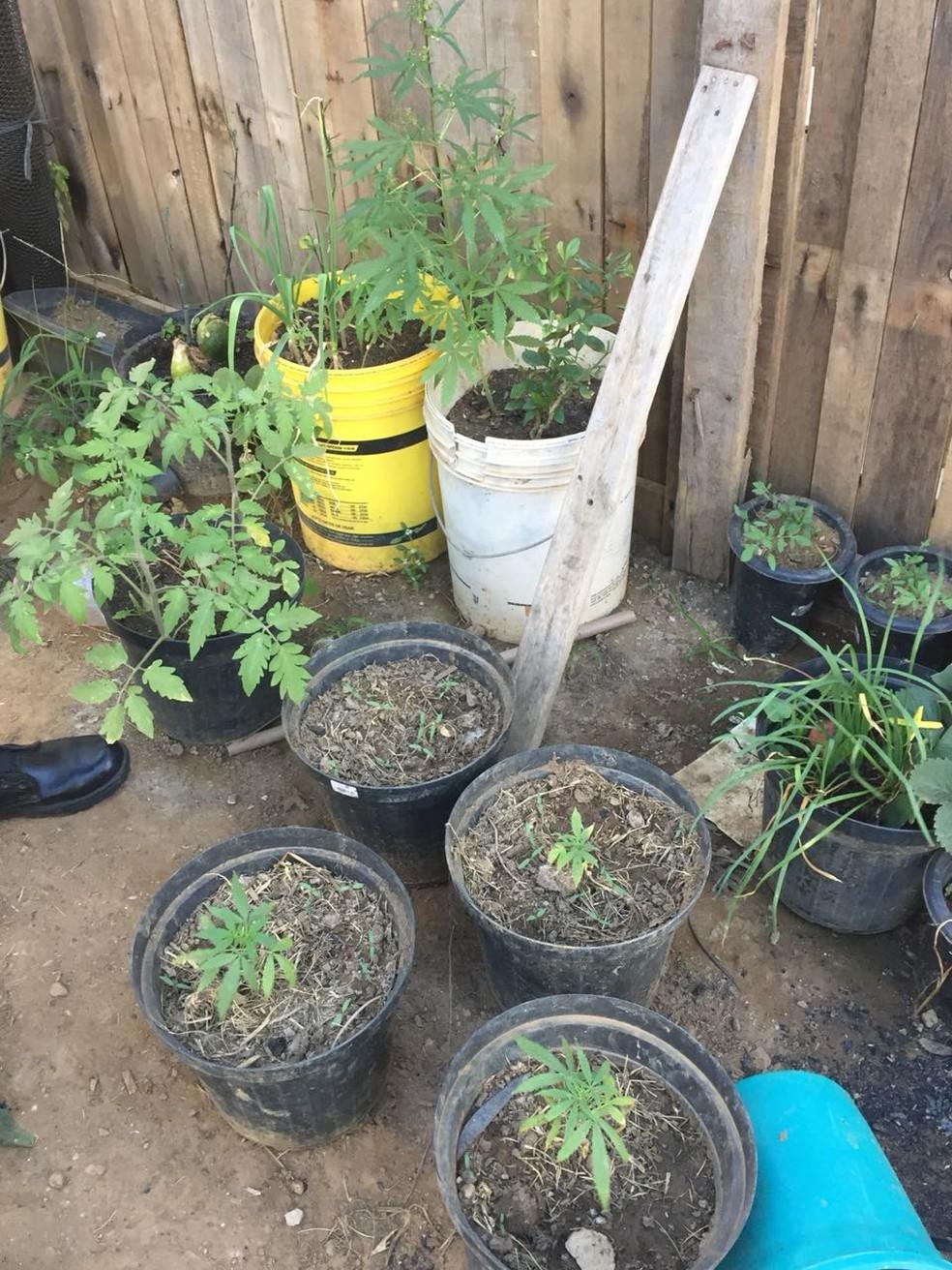 Plantação foi descoberto em quintal de residência em Primavera do Leste (Foto: Polícia Militar/Divulgação)