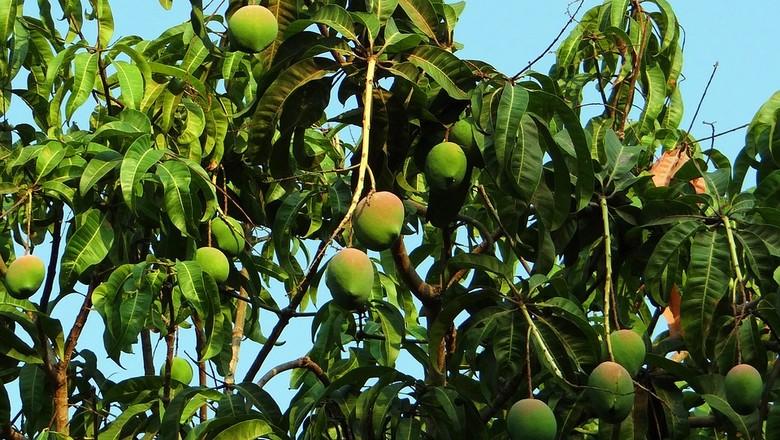mangueira-Mangifera indica L.-manga-arvore (Foto: Max Pixel/Creative Commons)