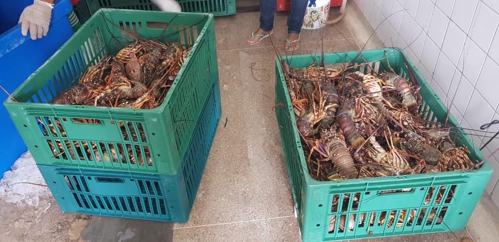 Lagostas foram pescadas de maneira ilegal no litoral potiguar, segundo o Ibama e a PRF — Foto: PRF/Divulgação