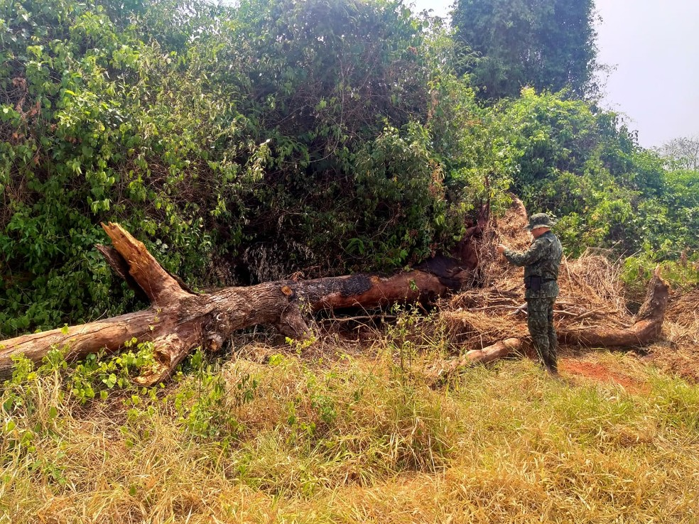 Sitiante foi multado pelo corte de 54 árvores nativas em Martinópolis — Foto: Polícia Militar Ambiental
